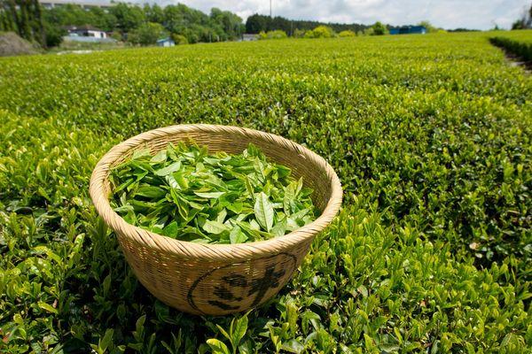 Зеленый лук полезные свойства и противопоказания