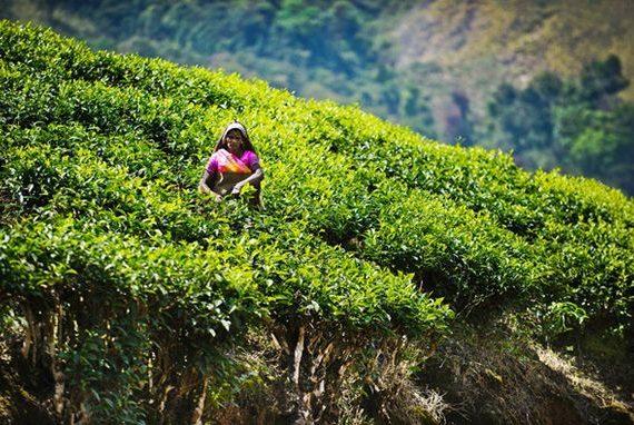 ассам индия чай