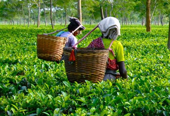 сбор чая индия