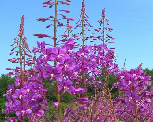 иван-чай цветы