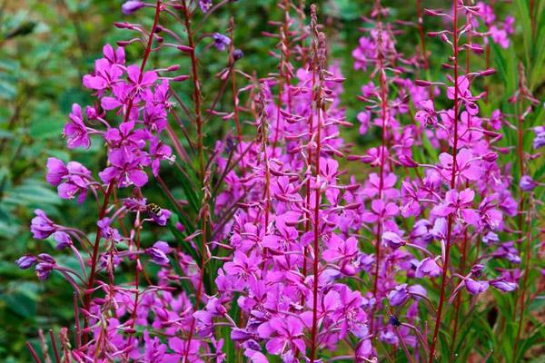 иван-чай растение