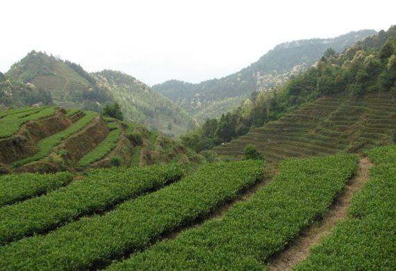 зеленый чай молочный чай