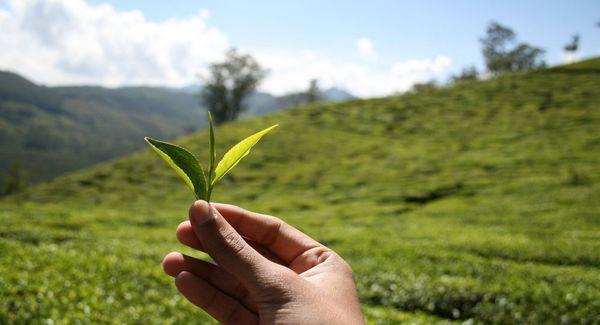 Абхазский чай