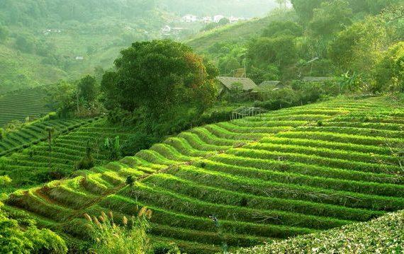 как выращивают чай