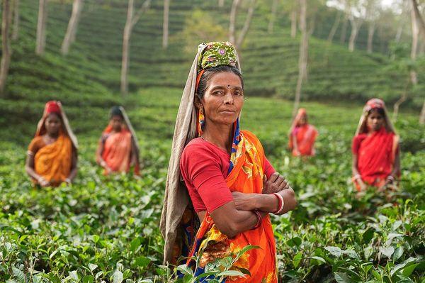 Черный чай, индийский чай: заготовка, качество чая