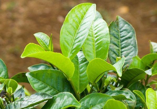 Растение чай