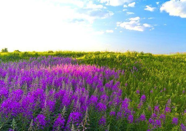 Кипрей узколистный где растет и как искать