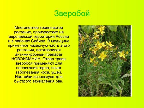 Зверобой при простуде — Энциклопедия Природы