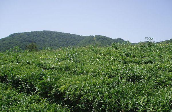 чайные плантации в россии