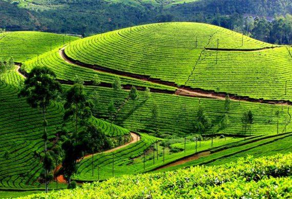 Чайные плантации мира