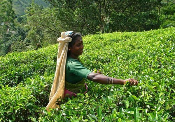 Цейлонский чай