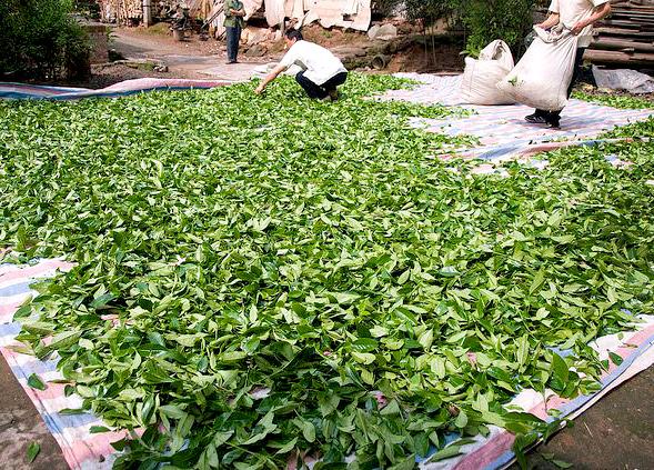 Да Хун Пао: как заваривать элитный чай, полезные свойства напитка