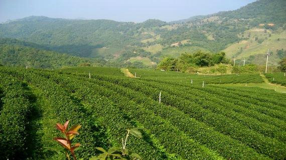 Чай ройбуш: вред и польза напитка африканских аборигенов