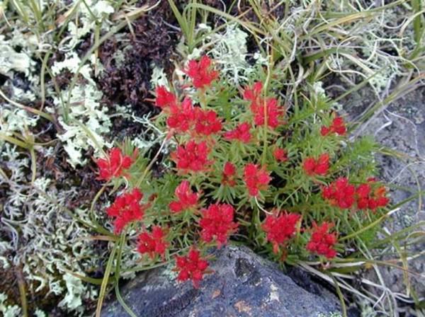 Трава красная щетка