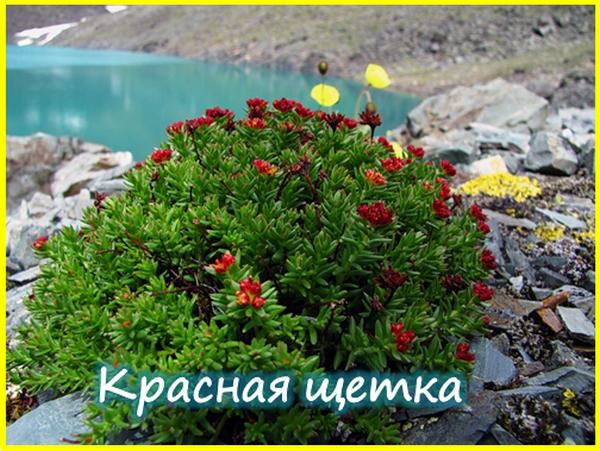 Трава красная щетка: описание и полезные свойства растения