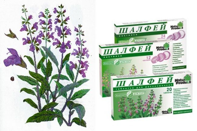 Шалфей: лечебные свойства, показания к применению при болезнях