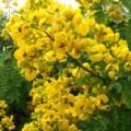 Senna_spectabilis_Flowers