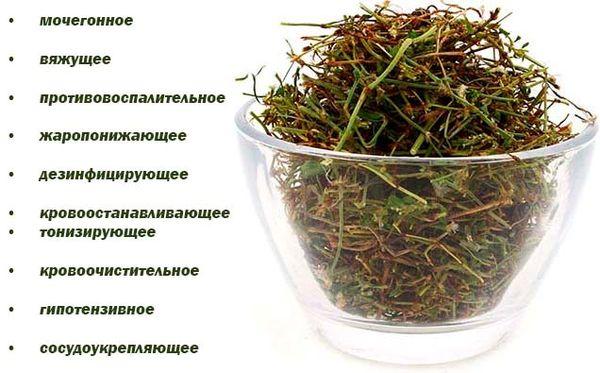 Спорыш-трава и ее применение в лечении различных заболеваний