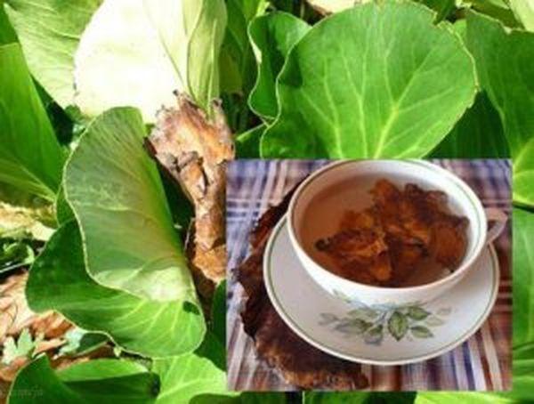 Бадан — рецепты здоровья, применение в народной медицине