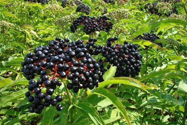 Чай с бузиной: польза черной ягоды, применение в медицине