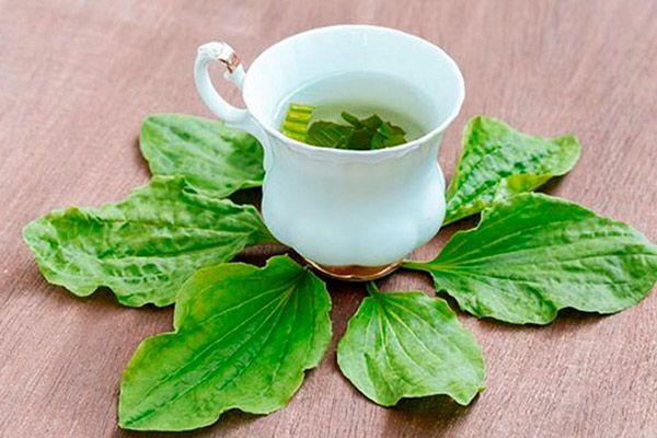 Чай из подорожника: применение для лечения заболеваний