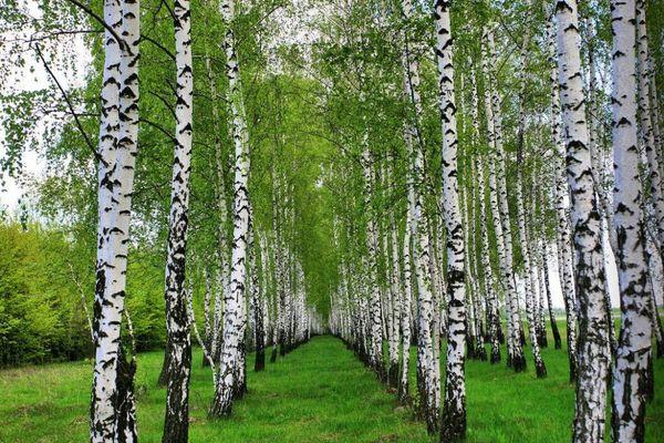 Березовый отвар – исцеление от природы. Как приготовить отвар