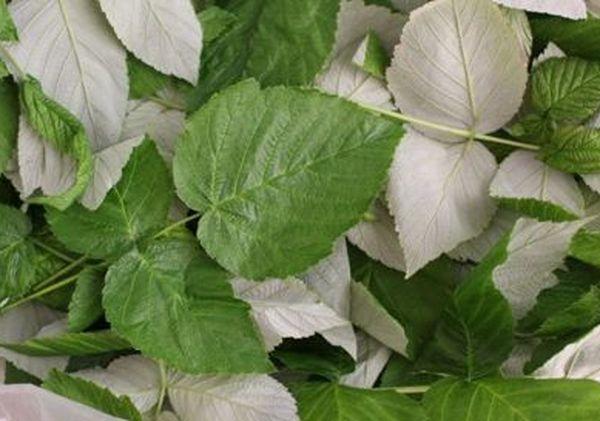 Когда собирать листья малины для чая – полезные советы травников