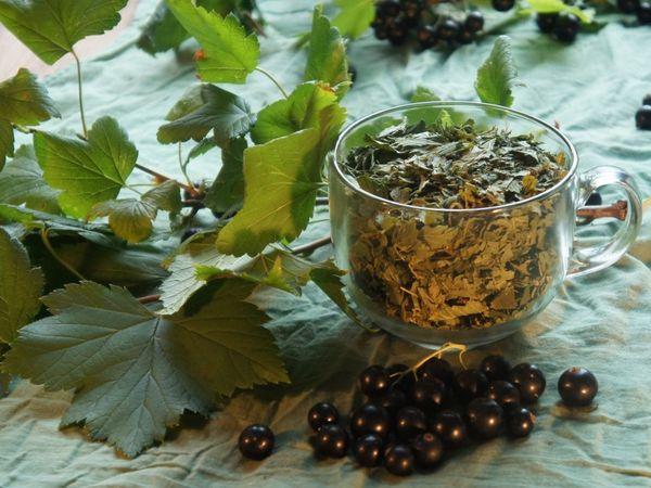 Когда собирать листья смородины для чая: руководство для новичка