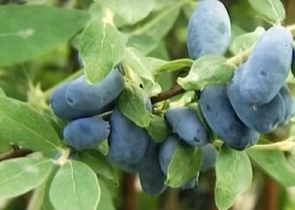 Лечебные свойства листьев жимолости, особенности применения