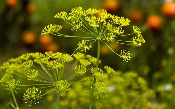 Семена укропа – полезные свойства ароматного растения, вред