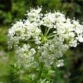 Болиголов трава — лечебные свойства и противопоказания растения