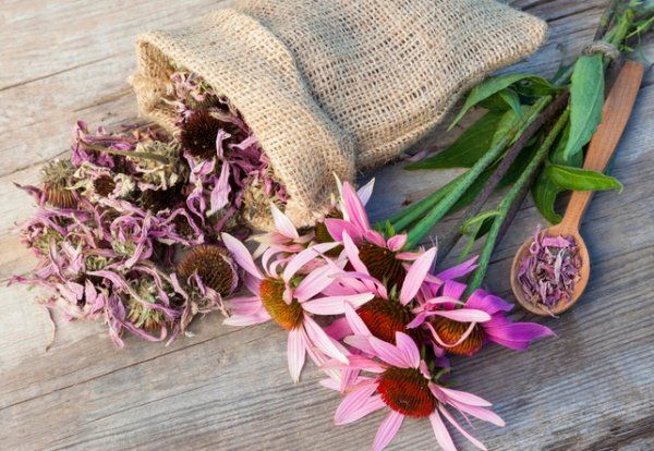 Эхинацея как принимать для иммунитета в сезон простуд